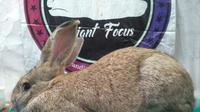 Jenis kelinci Flemish Giant bakal menjadi salah satu ras kelinci yang akan dilombakan dalam  Kejuaraan Bale Paminton ARBA Show 2021 Garut, Jawa Barat. (Liputan6.com/Jayadi Supriadin)