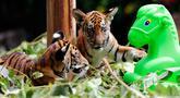 Dua ekor bayi kembar harimau China Selatan tampak sedang bermain di Taman Safari Chimelong di Guangzhou, ibu kota Provinsi Guangdong, China selatan, pada 28 September 2020. Keduanya, yang lahir pada 7 Juni, merayakan 100 hari kelahiran mereka pada Senin (28/9). (Xinhua/Huang Guobao)
