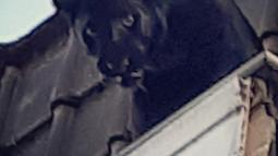 Seekor Black Panther saat berada di atap rumah warga di Armentières, Prancis (19/9/2019). Saksi menuturkan seekor macan kumbang (panther) besar tersebut memanjat dan berkeliaran di lantai dua rumah sebelum akhirnya masuk melalui jendela. (Photo by HO/Sapeurs-pompiers du Nord/AFP)