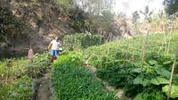 Kangkung, ubi jalar, cesin dan mentimun merupakan komoditas andalan petani untuk ditanam di pinggiran sungai. (Foto: Liputan6.com/Muhamad Ridlo)