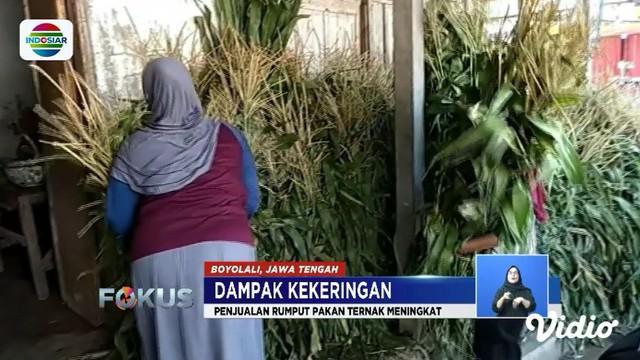 Akibat kekeringan, penjualan rumput pakan ternak di kawasan Gunung Merapi meningkat hingga 10 kali lipat.