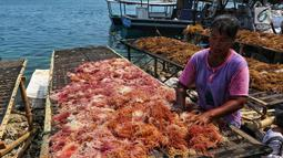 Warga menjemur rumput laut di Kawasan Pulau Panggang, Kepulauan Seribu, Jakarta, Rabu (18/9/2019). Hasil laut tersebut dijual dengan harga Rp7000 per kilogram untuk memenuhi kebutuhan rumah tangga sehari-hari yang rata-rata mata pencahariannya adalah Nelayan. (Liputan6.com/Johan Tallo)
