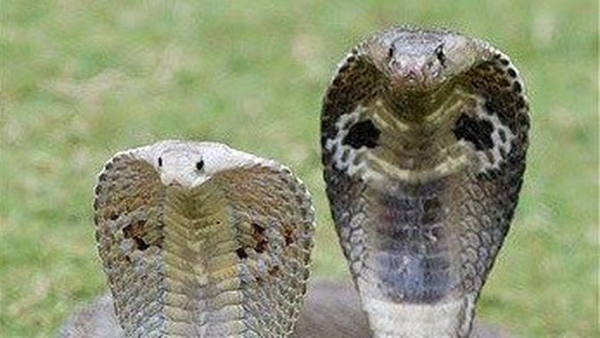 Di Balik Kandungan Bisa Ular Kobra yang Mematikan