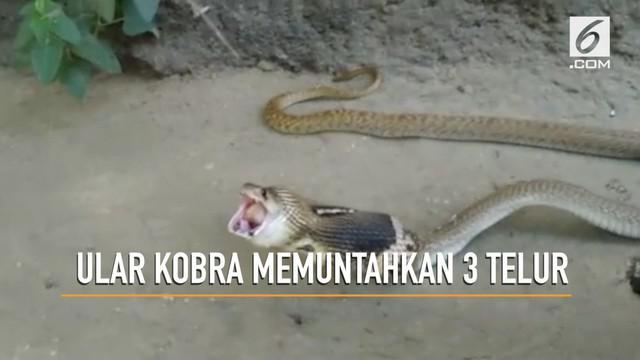 Momen seekor ular kobra paling beracun di dunia memuntahkan 3 butir telur terekam kamera.