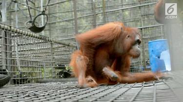 Keberadaan orangutan di hutan Kalimantan belum sepenuhnya terpenuhi. ALih fungsi hutan menjadi lahan perkebunan, menjadi salah satu faktor penyebab tingginya konflik antara orangutan dan manusia. Jika tidak tewas di bunuh, hampir dipastikan orangutan...