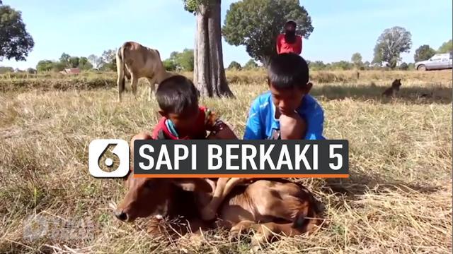 ANAK SAPI BERKAKI 5 DIKLAIM PEMBAWA KEBERUNTUNGAN