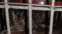 Macan dahan masuk rumah warga di Pasaman Barat. (Liputan6.com/ BKSDA Agam)