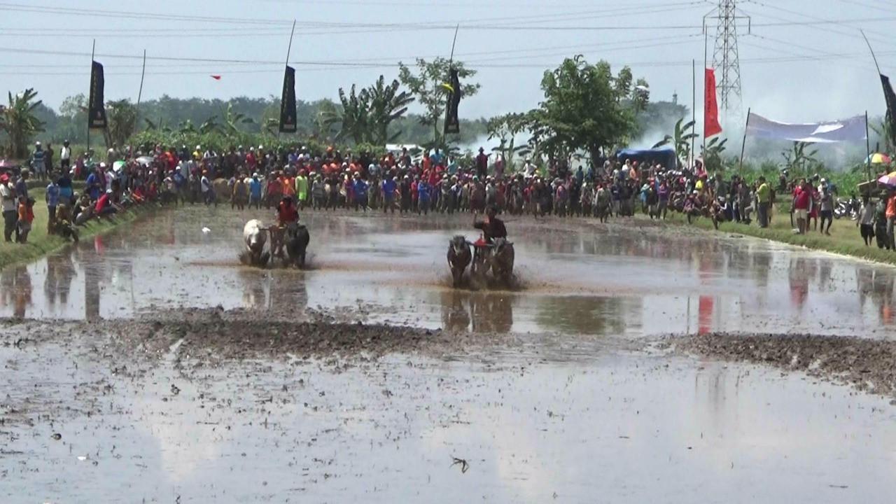 Meski peraturan dan aksesori tidak berbeda jauh dengan karapan sapi Madura, tetap ada perbedaan dengan karapan sapi Brujul. (Liputan6.com/Dian Kurniawan)