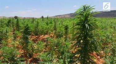 Lebanon tengah mempertimbangkan legalisasi budaya ganja untuk tujuan medis. Namun, keputusan ini masih menunggu izin dari pemerintah.
