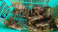 Sejumlah lobster hasil tangkapan nelayan di pantai Selatan Garut, Jawa Barat. (Liputan6.com/Jayadi Supriadin)