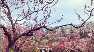 Festival Bunga Plum