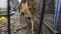 Seekor singa yang kekurangan gizi saat akan dievakuasi dari kebun binatang di Rafah, Jalur Gaza, Palestina, Minggu (7/4). Puluhan hewan dari kebun binatang di Gaza dievakuasi dalam kondisi 'menyedihkan'. (SAID KHATIB/AFP)
