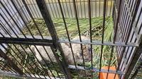 Bayi leopard atau macan dahan yang disita Polda Riau dari sindikat perdagangan satwa dilindungi. (Liputan6.com/M Syukur)