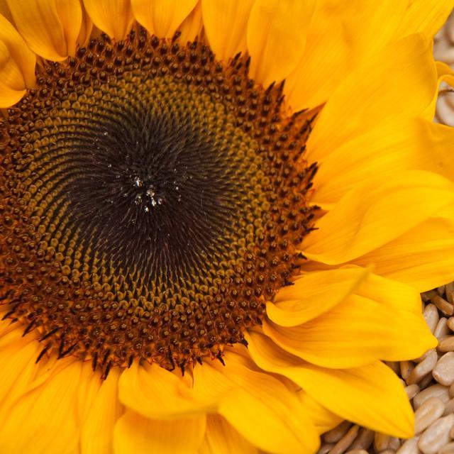5 Manfaat Biji Bunga Matahari Bagi Kesehatan Bisa Cegah