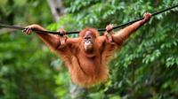 Orangutan bernama Elaine berayun pada tali saat dilepasliarkan di Cagar Alam Hutan Pinus Jantho, Aceh Besar, Selasa (18/6/2019). Balai Konservasi Sumber Daya Alam (BKSDA) Aceh melepasliarkan dua orangutan Sumatera bernama Keupok Rere dan Elaine. (CHAIDEER MAHYUDDIN/AFP)