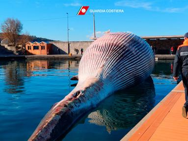 Selebaran foto pada 20 Januari 2021 menunjukkan bangkai paus berukuran besar di pelabuhan Sorrento sebelum diderek menuju pelabuhan Napoli, Italia. Mamalia yang mati itu terlihat di laut pada Minggu, 17 Januari 2021 dekat tujuan wisata populer Sorrento oleh penjaga pantai. (HO/GUARDIA COSTIERA/AFP)