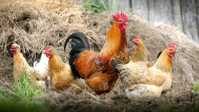 78 Gambar Perkembangbiakan Hewan Ayam Gratis Terbaru
