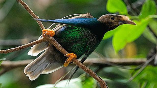 Bidadari halmahera merupakan salah satu jenis burung cendrawasih yang endemik di pulau Halmahera