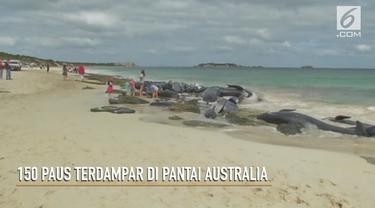 Rekaman video 150 paus yang terdampar di Teluk Hamelin, Australia.