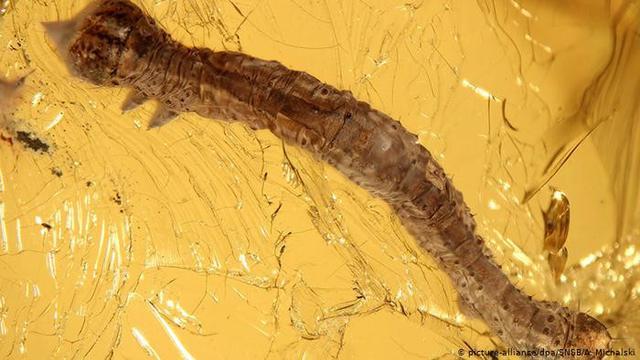 Sebuah jurnal mengungkap penemuan ulat berumur 44 juta tahun oleh peneliti Jerman. (DW)