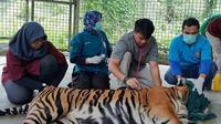 Inung Rio, harimau terjerat kawat baja diperiksa tim medis di Dharmasraya. (Liputan6.com/Dok BBKSDA/M Syukur)