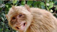 Ilustrasi Monyet (Foto: www.gradydoctor.com)