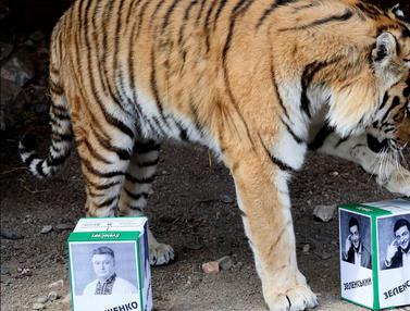 Saat Harimau Memprediksi Pemenang Pemilu Presiden Ukraina