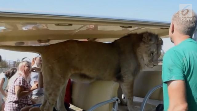 Melihat singa dari kejauhan memang sudah biasa. Namun, naik mobil bersama singa hal yang tak biasa.