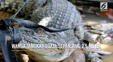 Khawatir memangsa masyarakat disekitarnya warga Samarinda Kalimantan Timur menangkap buaya sepanjang 2,5 meter di kolam pemancinbgan ikan.