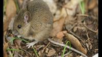 """Lebih 1.000 tikus berkeliaran, sangat menjijikkan,"" kata seorang penduduk."
