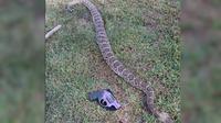 ular derik 'raksasa' ditembak mati setelah menggigit seekor anjing