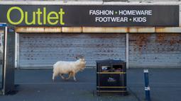Seekor kambing berjalan melewati toko yang tutup, di dekat Alun-alun Trinity, di Llandudno, Wales utara, Selasa (31/3/2020). Kambing-kambing liar berkeliaran di jalanan kota yang tampak lengang selama pemberlakuan lockdown dalam upaya membatasi penyebaran virus corona. (Pete Byrne/PA via AP)