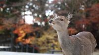 Foto yang diabadikan pada 9 Desember 2020 ini menunjukkan seekor rusa di Nara, Jepang. Rusa Nara, yang hidup berdekatan dengan manusia, menjadi salah satu simbol Kota Nara. Rusa Nara dilindungi sebagai monumen alam Jepang. (Xinhua/Du Xiaoyi)