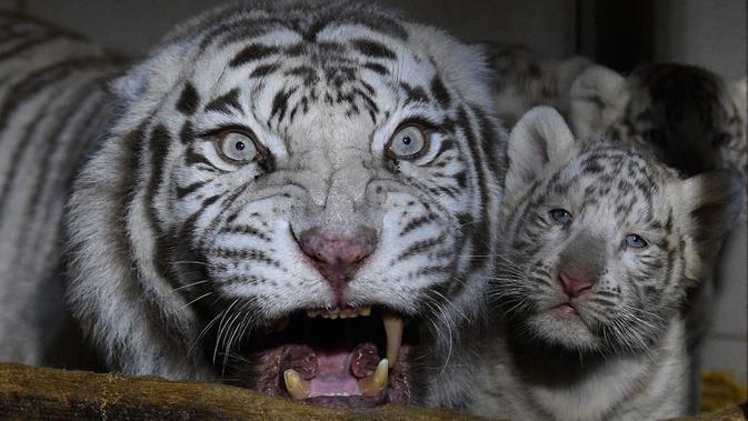 Tiga anak harimau putih berdiri di dekat induk mereka, Orissa, di taman zoologi Amneville, Prancis timur laut pada 9 Maret 2020. Harimau putih yang menjadi hewan terancam punah ini terakhir terlihat di habitat liarnya pada 1950-an. (JEAN-CHRISTOPHE VERHAEGEN / AFP)