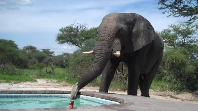 Sungguh Mendebarkan Berenang Di Kolam Air Minum Gajah Global
