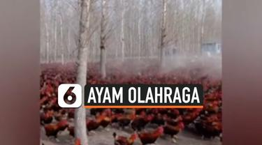 Seorang petani asal China bernama Sang Qingjun rutin mengajak 70.000 ayamnya berolahraga.  Ini bertujuan agar hewan ternaknya tersebut sehat dan menghasilkan kualitas daging yang enak.