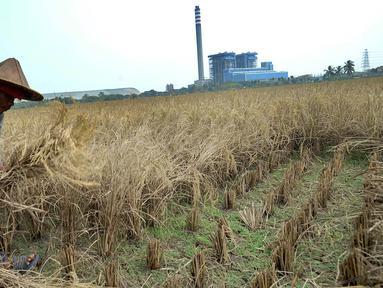 Petani memotong tanaman padi saat panen di sawah yang terletak di belakang PLTU Labuan, Pandeglang, Banten, Minggu (4/8/2019). Musim kemarau menyebabkan harga gabah di tingkat petani mengalami kenaikan dari Rp 3.600 menjdi Rp 4.300 per kilogram. (merdeka.com/Arie Basuki)