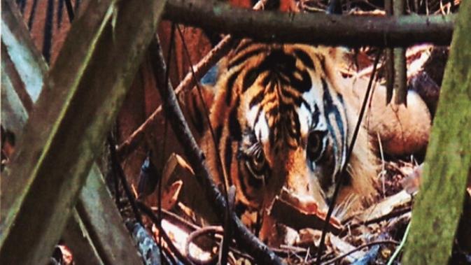 Harimau jantan yang terjebak kawat baja di hutan restorasi ekosistem di Riau. (Liputan6.com/Dok BBKSDA Riau/M Syukur)