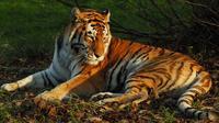 Ilustrasi harimau (Dok.Unsplash)