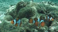 Ikan Nemo akan menjadi ikon Pulau Tikus Bengkulu (Yuliardi Hardjo Putro)