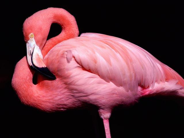 Mengapa Burung Flamingo Berwarna Pink Ternyata Ini Jawabannya Citizen6 Liputan6 Com