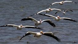 Pelikan putih, salah satu burung terbesar dari Kanada dan Amerika Serikat, terlihat terbang di atas pantai laguna Chapala di Cojumatlan, Meksiko pada 28 Januari 2020. Pelikan putih melakukan perjalanan ribuan kilometer bermigrasi dari suhu rendah Amerika Utara. (Photo by ULISES RUIZ / AFP)
