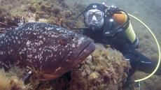 Penyelam memperhatikan ikan Kerapu yang bersembunyi di terumbu karang di taman alam Port-Cros, Prancis, Senin (1/5). WWF telah memasukkan nama Ikan Kerapu sebagai ikan yang patut dihindari untuk dijadikan konsumsi. (AFP Photo/ Boris HORVAT)