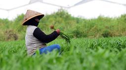 Petani memanen sayur kangkung yang ditanamnya di lahan garapan Banjir Kanal Timur, Cakung, Jakarta, Rabu (15/5/2019). Petani sering memanfaatkan lahan kosong dengan menanam beberapa jenis sayuran seperti kangkung yang dijual sekitar Rp 7.000 per 10 ikat. (merdeka.com/Imam Buhori)