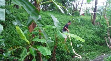 Ular piton albino sepanjang 4 meter ditangkap warga Kampung Baru, Arcawinangun Purwokerto. (Foto: Liputan6.com/Istimewa/Muhamad Ridlo)