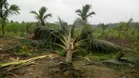 Pohon kelapa di kebun warga yang dicabut belasan gajah liar untuk dimakan. (Liputan6.com/M Syukur)