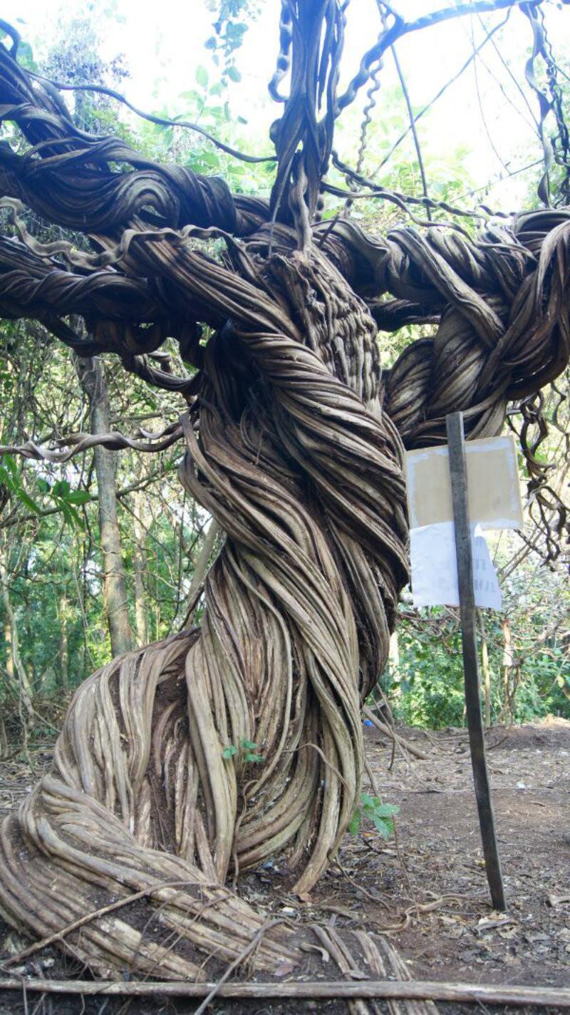 Pohon Trinil Raksasa di Lamongan (Foto: Fathur Roziq)