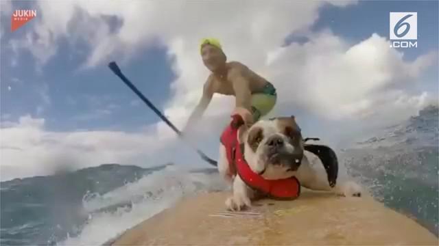 Tak mau kalah dengan pemiliknya, seekor anjing jenis bulldog ikut berselancar di laut. Begini aksinya!