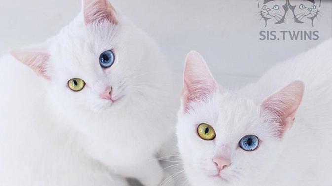 Punya Warna Mata Berbeda Kucing Kembar Ini Banjir Pengikut Di Instagram Citizen6 Liputan6 Com