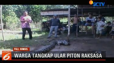 Ular piton ini pertama kali ditemukan oleh seorang warga bernama Ali Sipin saat melintas di jalan desa